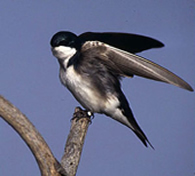Tree Swallow copyright Marie Read