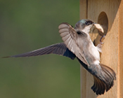 Tree Swallow Building